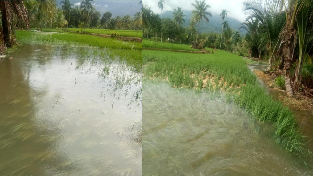 Air Cendam Meluap, Puluhan Hektare Sawah di Karang Anyar Terendam